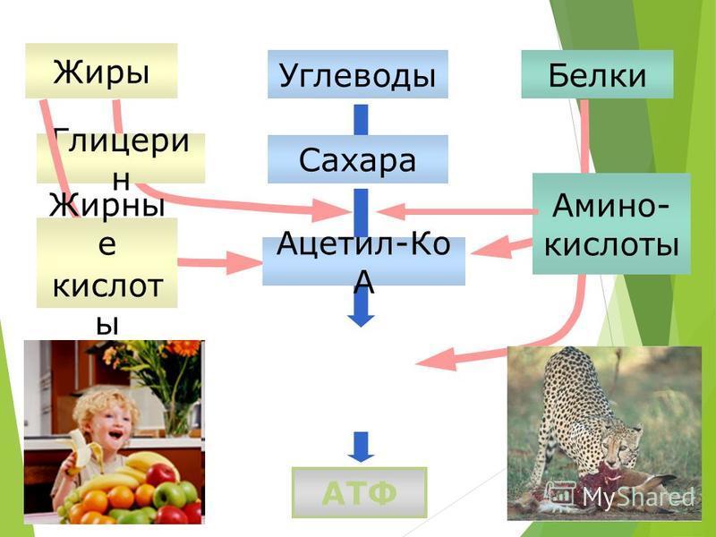 Жиры Белки Углеводы АТФ Глицери н Жирны е кислот ы Амино- кислоты Сахара Ацетил-Ко А