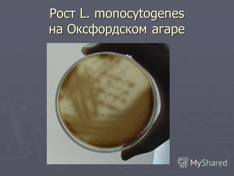 Рост L. monocytogenes на Оксфордском агаре