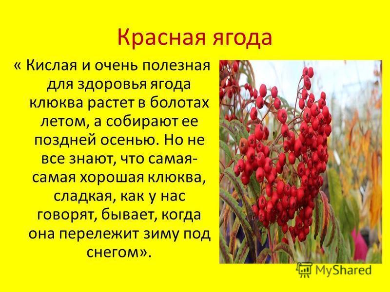Красная ягода « Кислая и очень полезная для здоровья ягода клюква растет в болотах летом, а собирают ее поздней осенью. Но не все знают, что самая- самая хорошая клюква, сладкая, как у нас говорят, бывает, когда она перележит зиму под снегом».