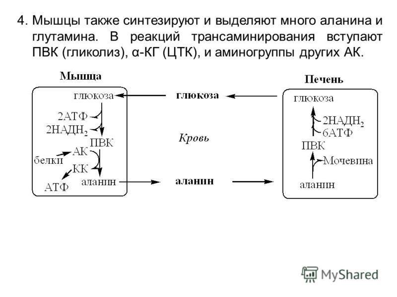 4. Мышцы также синтезируют и выделяют много аланина и глутамина. В реакций трансаминирования вступают ПВК (гликолиз), α-КГ (ЦТК), и аминогруппы других АК.