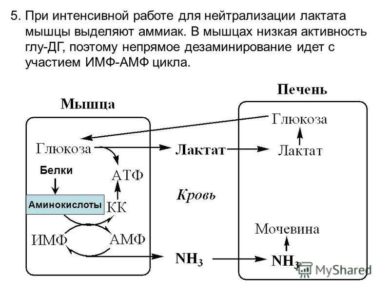 Аминокислоты Белки 5. При интенсивной работе для нейтрализации лактата мышцы выделяют аммиак. В мышцах низкая активность глу-ДГ, поэтому непрямое дезаминирование идет с участием ИМФ-АМФ цикла.