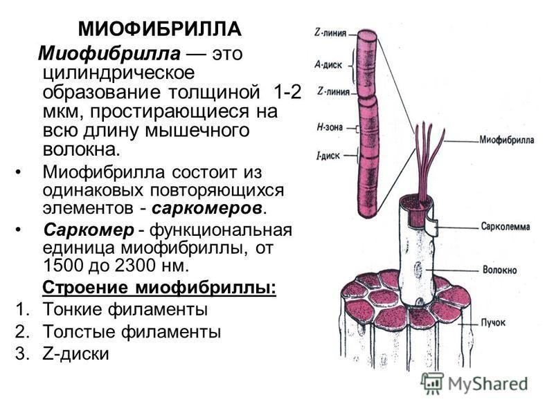 МИОФИБРИЛЛА Миофибрилла это цилиндрическое образование толщиной 1-2 мкм, простирающиеся на всю длину мышечного волокна. Миофибрилла состоит из одинаковых повторяющихся элементов - саркомеров. Саркомер - функциональная единица миофибриллы, от 1500 до