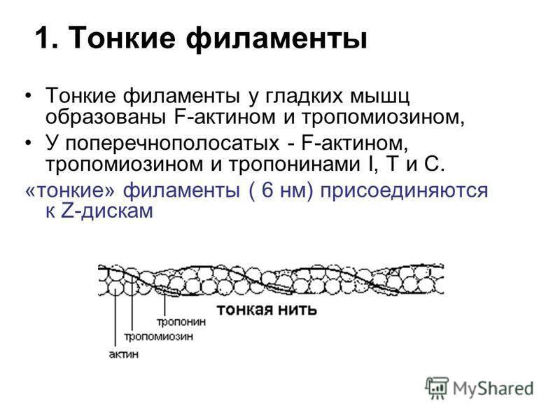 1. Тонкие филаменты Тонкие филаменты у гладких мышц образованы F-актином и тропомиозином, У поперечнополосатых - F-актином, тропомиозином и тропининами I, Т и С. «тонкие» филаменты ( 6 нм) присоединяются к Z-дискам