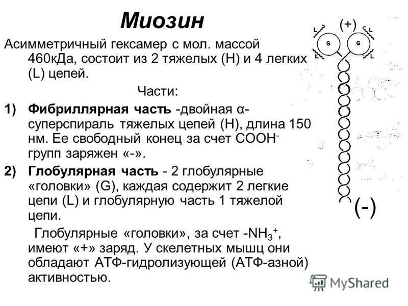Миозин Асимметричный гексамер с мол. массой 460 к Да, состоит из 2 тяжелых (Н) и 4 легких (L) цепей. Части: 1)Фибриллярная часть -двойная α- суперспираль тяжелых цепей (Н), длина 150 нм. Ее свободный конец за счет COOH - групп заряжен «-». 2)Глобуляр