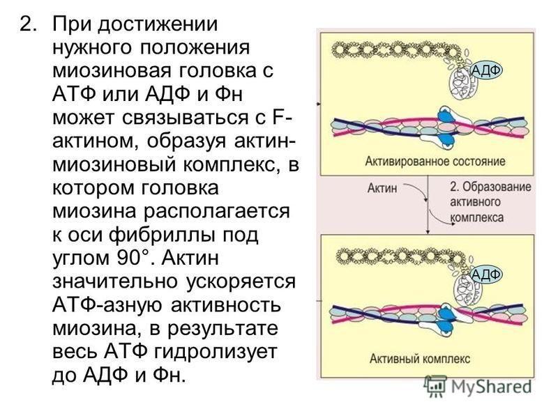 2. При достижении нужного положения миозиновая головка с АТФ или АДФ и Фн может связываться с F- актином, образуя актин- миозиновый комплекс, в котором головка миозина располагается к оси фибриллы под углом 90°. Актин значительно ускоряется АТФ-азную