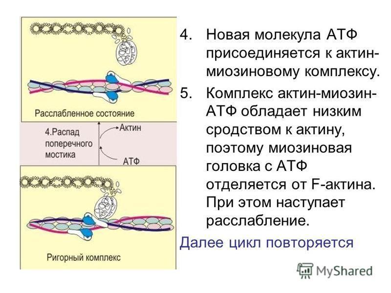4. Новая молекула АТФ присоединяется к актин- миозиновому комплексу. 5. Комплекс актин-миозин- АТФ обладает низким сродством к актину, поэтому миозиновая головка с АТФ отделяется от F-актина. При этом наступает расслабление. Далее цикл повторяется
