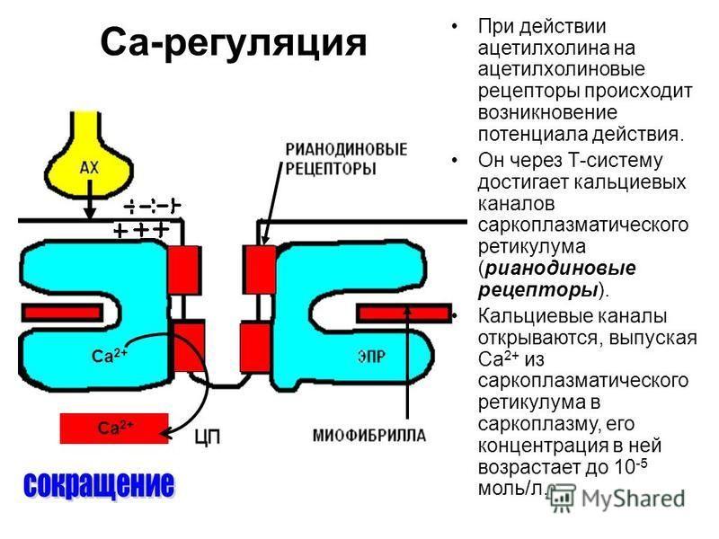 Са-регуляция При действии ацетилхолина на ацетилхолиновые рецепторы происходит возникновение потенциала действия. Он через Т-систему достигает кальциевых каналов саркоплазматического ретикулума (рианодиновые рецепторы). Кальциевые каналы открываются,