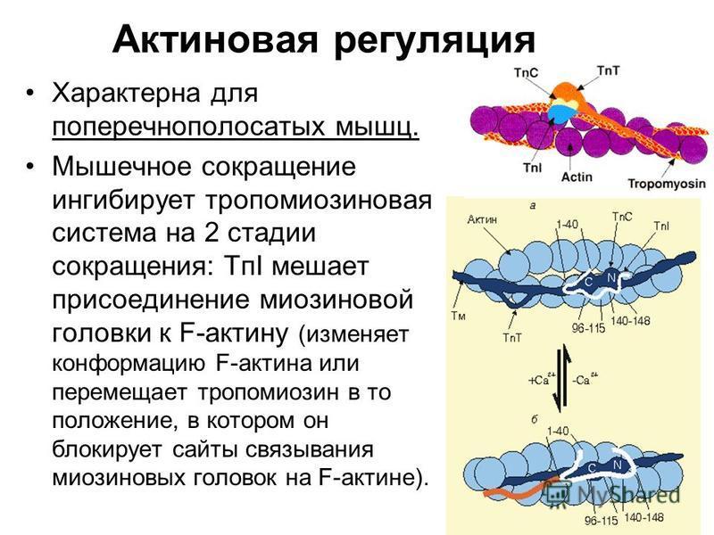 Актиновая регуляция Характерна для поперечнополосатых мышц. Мышечное сокращение ингибирует тропомиозиновая система на 2 стадии сокращения: TпI мешает присоединение миозиновой головки к F-актину (изменяет конформацию F-актина или перемещает тропомиози
