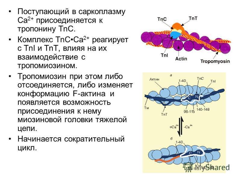 Поступающий в саркоплазму Са 2+ присоединяется к тропонину ТnС. Комплекс Тn ССа 2+ реагирует с TnI и ТnТ, влияя на их взаимодействие с тропомиозином. Тропомиозин при этом либо отсоединяется, либо изменяет конформацию F-актина и появляется возможность