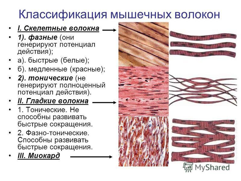 I. Скелетные волокна 1). фазные (они генерируют потенциал действия); а). быстрые (белые); б). медленные (красные); 2). тонические (не генерируют полноценный потенциал действия). II. Гладкие волокна 1. Тонические. Не способны развивать быстрые сокраще