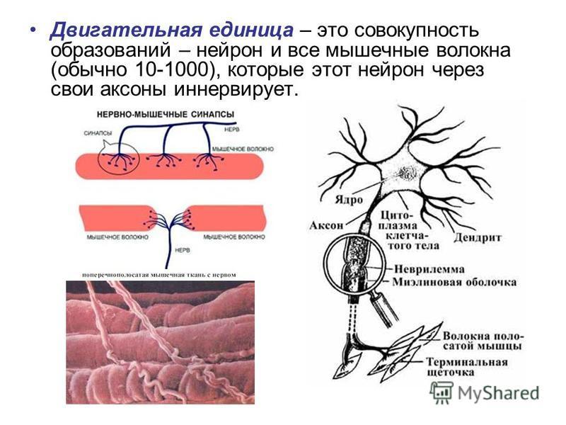 Двигательная единица – это совокупность образований – нейрон и все мышечные волокна (обычно 10-1000), которые этот нейрон через свои аксоны иннервирует.