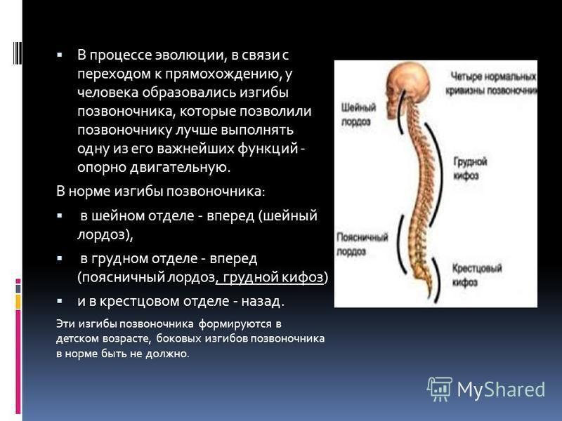 В процессе эволюции, в связи с переходом к прямохождению, у человека образовались изгибы позвоночника, которые позволили позвоночнику лучше выполнять одну из его важнейших функций - опорно двигательную. В норме изгибы позвоночника: в шейном отделе -