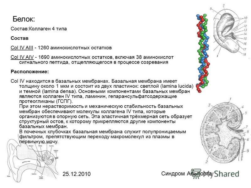 25.12.2010 Синдром Альпорта Белок: Состав:Коллаген 4 типа Состав Col IV AIII - 1260 аминокислотных остатков Col IV AIV - 1690 аминокислотных остатков, включая 38 аминокислот сигнального пептида, отщепляющегося в процессе созревания Расположение: Col
