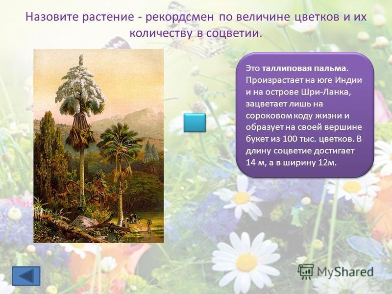 Назовите растение - рекордсмен по величине цветков и их количеству в соцветии. Это таллиповая пальма. Произрастает на юге Индии и на острове Шри-Ланка, зацветает лишь на сороковом коду жизни и образует на своей вершине букет из 100 тыс. цветков. В дл