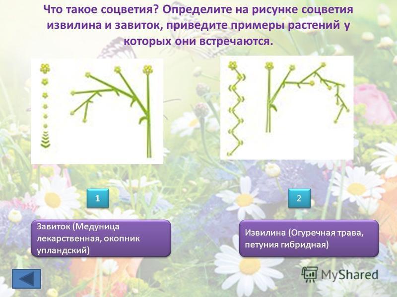 Что такое соцветия? Определите на рисунке соцветия извилина и завиток, приведите примеры растений у которых они встречаются. 1 1 Завиток (Медуница лекарственная, окопник упландский) Извилина (Огуречная трава, петуния гибридная) 2 2