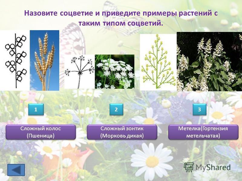 Назовите соцветие и приведите примеры растений с таким типом соцветий. Сложный колос (Пшеница) 1 1 2 2 3 3 Сложный зонтик (Морковь дикая) Метелка(Гортензия метельчатая)