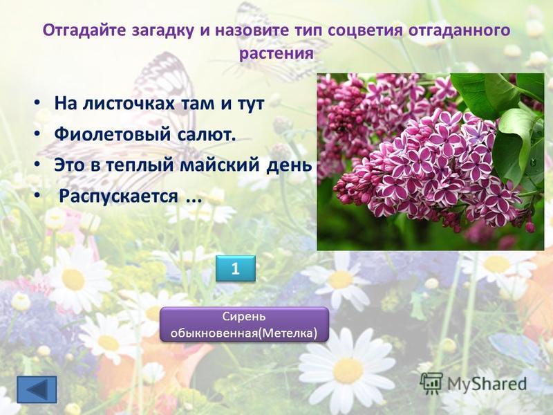 Отгадайте загадку и назовите тип соцветия отгаданного растения 1 1 Сирень обыкновенная(Метелка) На листочках там и тут Фиолетовый салют. Это в теплый майский день Распускается...