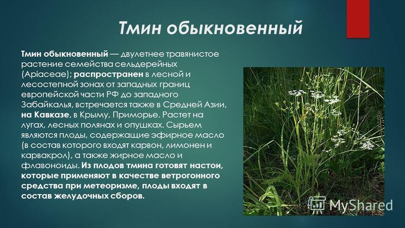 Тмин обыкновенный Тмин обыкновенный двулетнее травянистое растение семейства сельдерейных (Apiaceae); распространен в лесной и лесостепной зонах от западных границ европейской части РФ до западного Забайкалья, встречается также в Средней Азии, на Кав