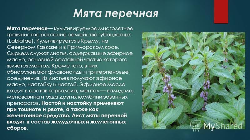 Мята перечная Мята перечная культивируемое многолетнее травянистое растение семейства губоцветных (Labiatae). Культивируется в Крыму, на Северном Кавказе и в Приморском крае. Сырьем служат листья, содержащие эфирное масло, основной составной частью к