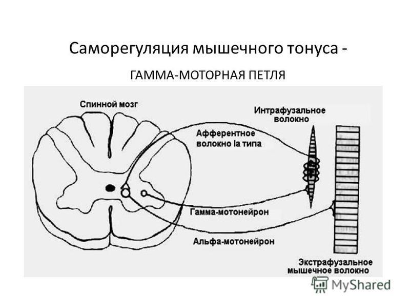 Саморегуляция мышечного тонуса - ГАММА-МОТОРНАЯ ПЕТЛЯ