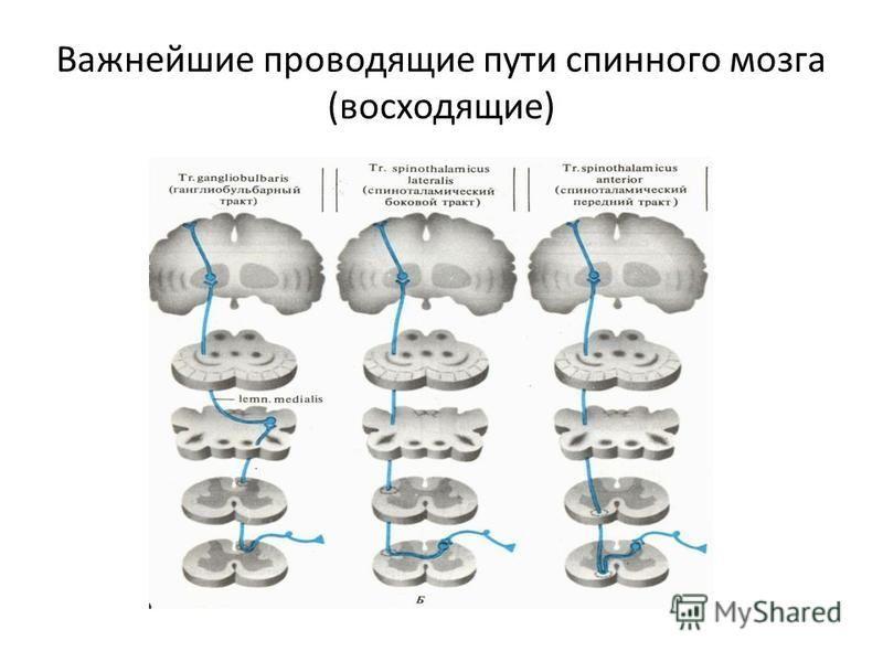 Важнейшие проводящие пути спинного мозга (восходящие)