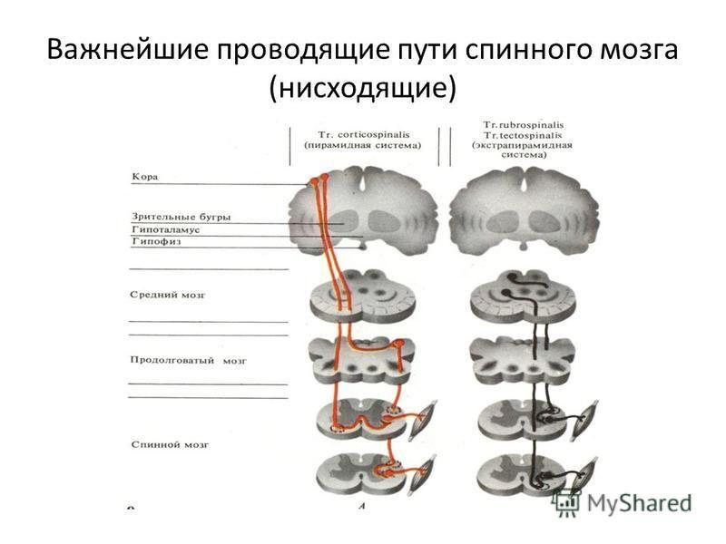 Важнейшие проводящие пути спинного мозга (нисходящие)