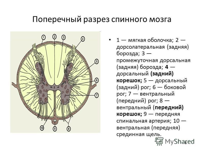 6 Поперечный разрез спинного мозга 1 мягкая оболочка; 2 дорсолатеральная (задняя) борозда; 3 промежуточная дорсальная (задняя) борозда; 4 дорсальный (задний) корешок; 5 дорсальный (задний) рог; 6 боковой рог; 7 вентральный (передний) рог; 8 вентральн