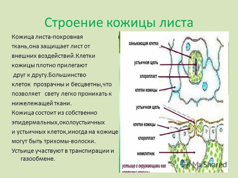 Строение кожицы листа Кожица листа-покровная ткань,она защищает лист от внешних воздействий.Клетки кожицы плотно прилегают друг к другу.Большинство клеток прозрачны и бесцветны,что позволяет свету легко проникать к нижележащей ткани. Кожица состоит и