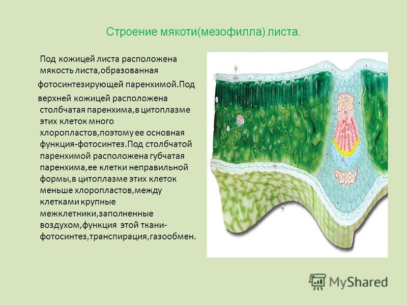 Строение мякоти(мезофилла) листа. Под кожицей листа расположена мякость листа,образованная фотосинтезирующей паренхимой.Под верхней кожицей расположена столбчатая паренхима,в цитоплазме этих клеток много хлоропластов,поэтому ее основная функция-фотос