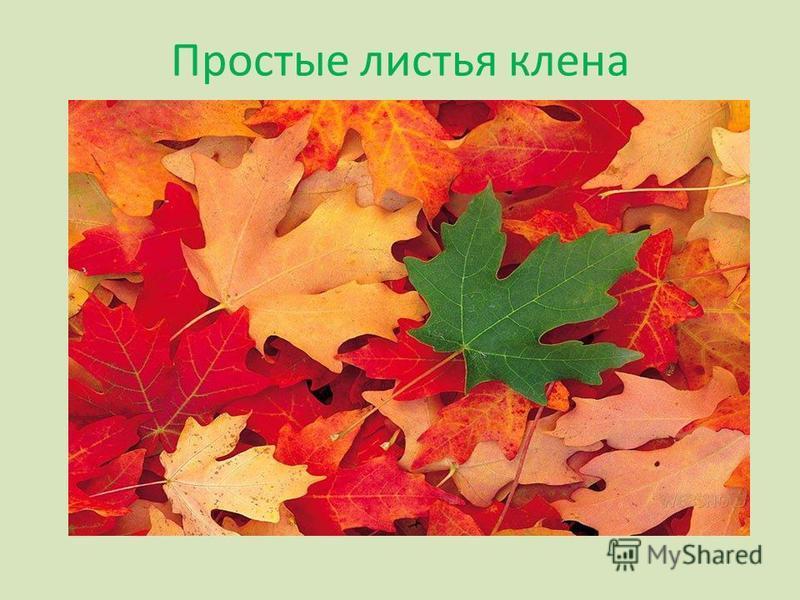 Простые листья клена