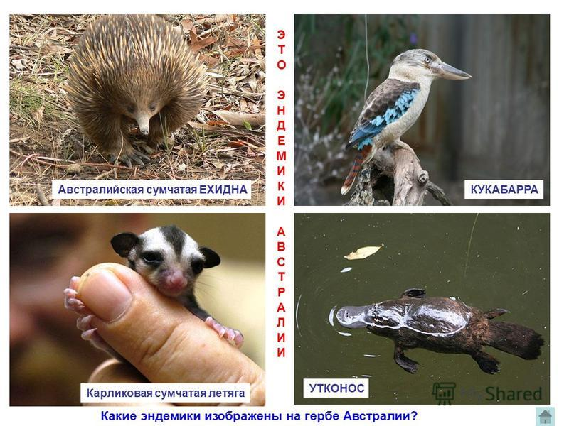 Австралийская сумчатая ЕХИДНАКУКАБАРРА Карликовая сумчатая летяга УТКОНОС ЭТОЭНДЕМИКИАВСТРАЛИИЭТОЭНДЕМИКИАВСТРАЛИИ Какие эндемики изображены на гербе Австралии?