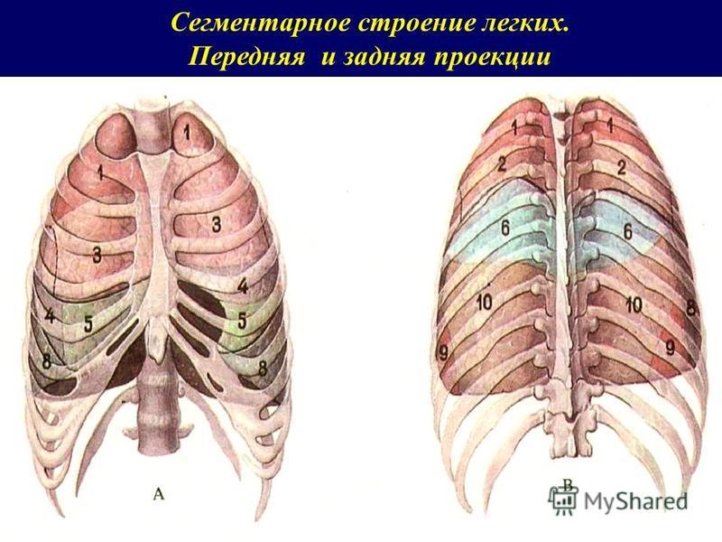 Сегментарное строение легких. Передняя и задняя проекции