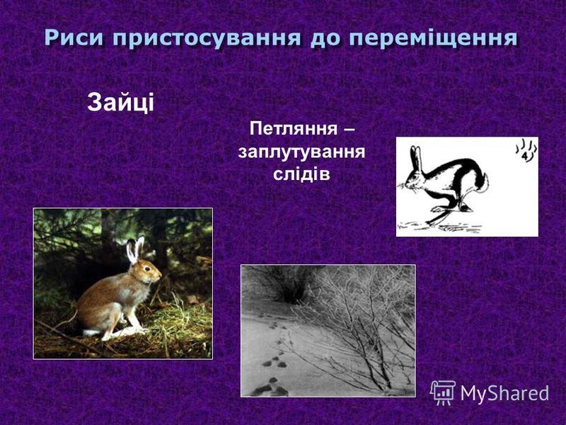 Риси пристосування до переміщення Хижі ссавці Дві пари кінцівок під тулубом, на пальцях подушечки