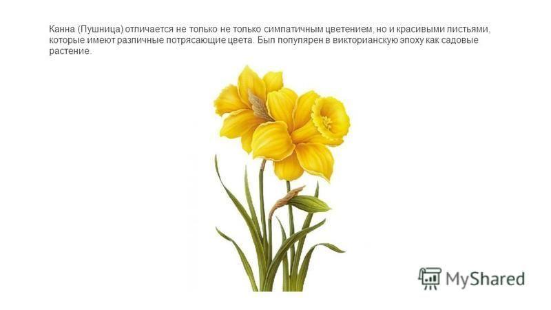 Канна (Пушница) отличается не только не только симпатичным цветением, но и красивыми листьями, которые имеют различные потрясающие цвета. Был популярен в викторианскую эпоху как садовые растение.