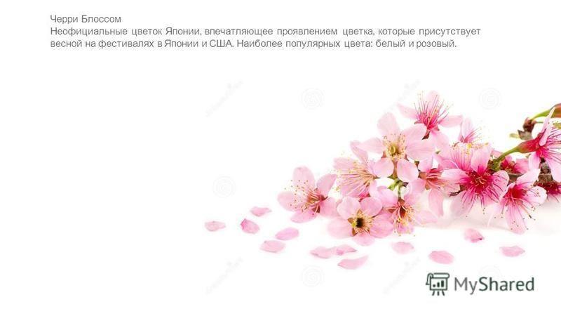 Черри Блоссом Неофициальные цветок Японии, впечатляющее проявлением цветка, которые присутствует весной на фестивалях в Японии и США. Наиболее популярных цвета : белый и розовый.
