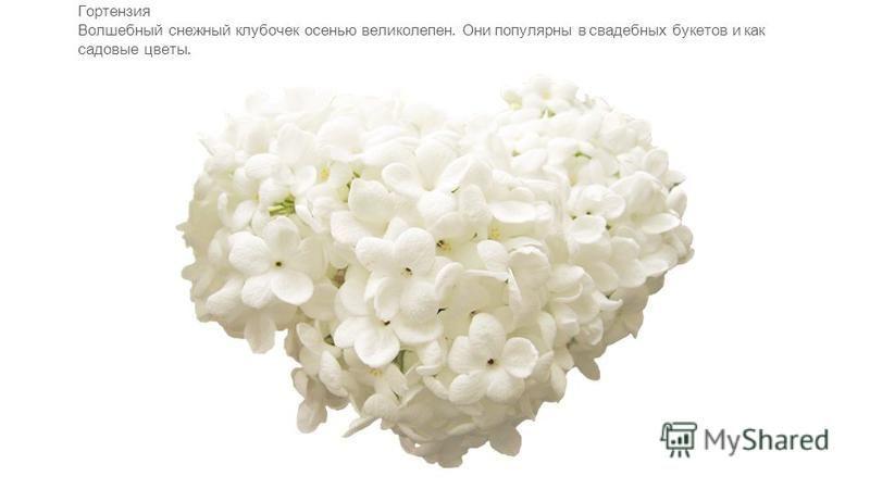 Гортензия Волшебный снежный клубочек осенью великолепен. Они популярны в свадебных букетов и как садовые цветы.