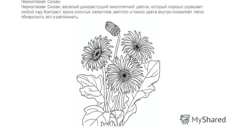Черноглазая Сюзан Черноглазая Сюзан, веселый дикорастущий многолетний цветок, который хорошо украшает любой сад. Контраст ярких золотых лепестков желтого и темно цвета внутри позволяет легко обнаружить его и распознать.