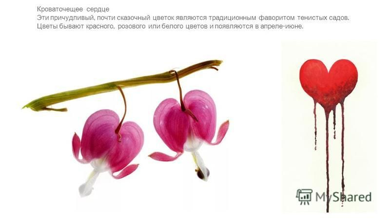 Кроваточещее сердце Эти причудливый, почти сказочный цветок являются традиционным фаворитом тенистых садов. Цветы бывают красного, розового или белого цветов и появляются в апреле - июне.