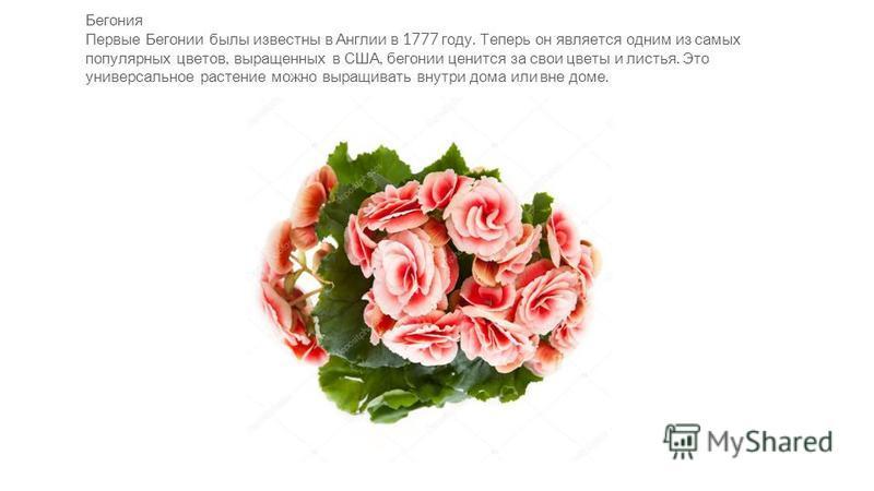 Бегония Первые Бегонии былы известны в Англии в 1777 году. Теперь он является одним из самых популярных цветов, выращенных в США, бегонии ценится за свои цветы и листья. Это универсальное растение можно выращивать внутри дома или вне доме.