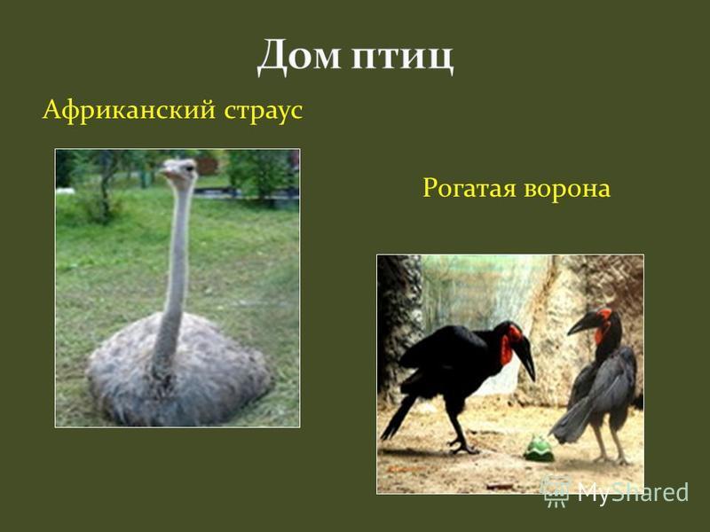 Африканский страус Рогатая ворона