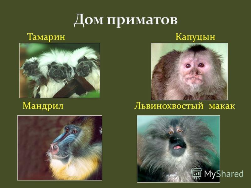 Тамарин Капуцын Мандрил Львинохвостый макак