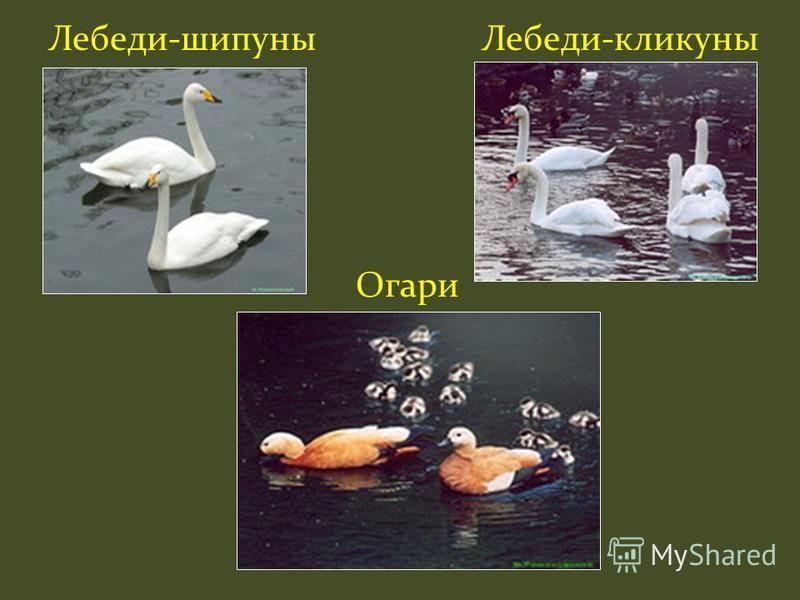 Лебеди-шипуны Лебеди-кликуны Огари
