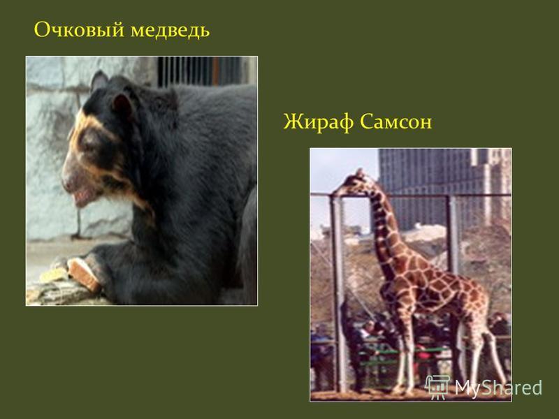 Очковый медведь Жираф Самсон