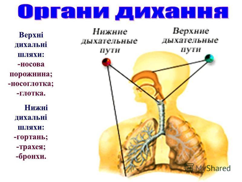 Верхні дихальні шляхи: -носова порожнина; -носоглотка; -глотка. Нижні дихальні шляхи: -гортань; -трахея; -бронхи.