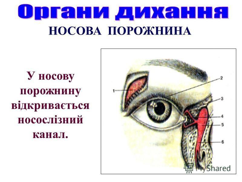 У носову порожнину відкривається носослізний канал.