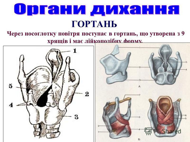 ГОРТАНЬ Через носоглотку повітря поступає в гортань, що утворена з 9 хрящів і має лійкоподібну форму.