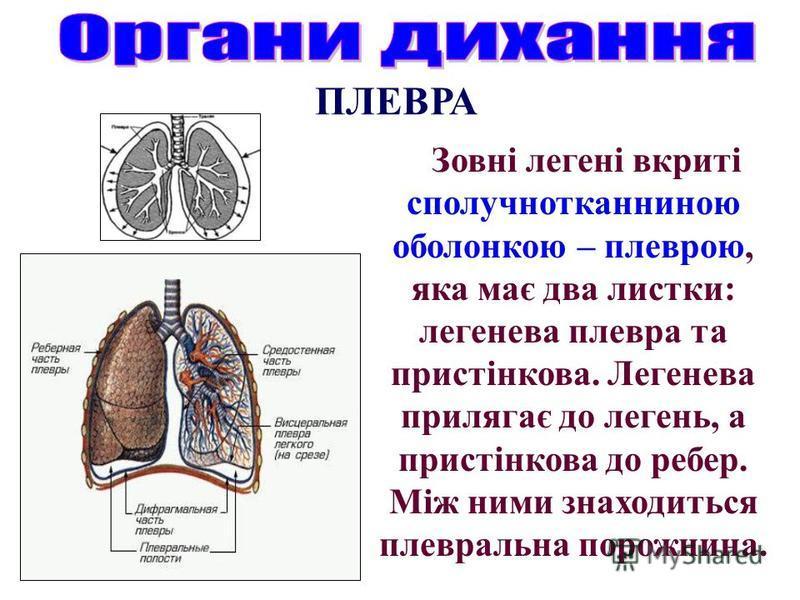 Зовні легені вкриті сполучнотканниною оболонкою – плеврою, яка має два листки: легенева плевра та пристінкова. Легенева прилягає до легень, а пристінкова до ребер. Між ними знаходиться плевральна порожнина. ПЛЕВРА