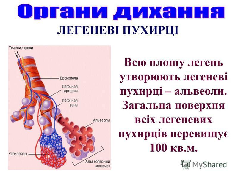 Всю площу легень утворюють легеневі пухирці – альвеоли. Загальна поверхня всіх легеневих пухирців перевищує 100 кв.м. ЛЕГЕНЕВІ ПУХИРЦІ