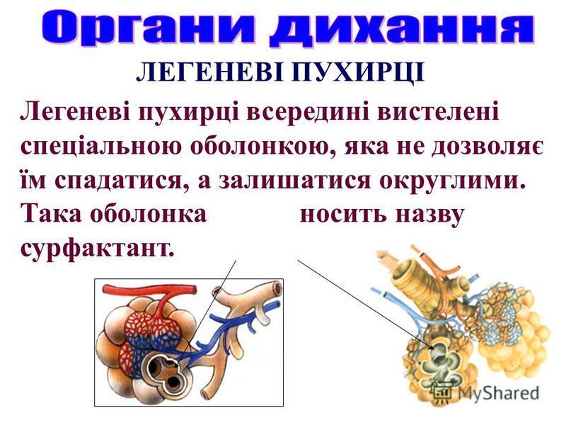 Легеневі пухирці всередині вистелені спеціальною оболонкою, яка не дозволяє їм спадатися, а залишатися округлими. Така оболонка носить назву сурфактант. ЛЕГЕНЕВІ ПУХИРЦІ
