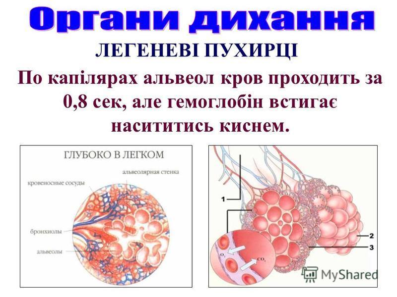 По капілярах альвеол кров проходить за 0,8 сек, але гемоглобін встигає насититись киснем. ЛЕГЕНЕВІ ПУХИРЦІ